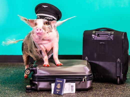 636165197708183854-1-lilou-the-pig-is-the-newest-member-of-sfo-s-wag-brigade-1