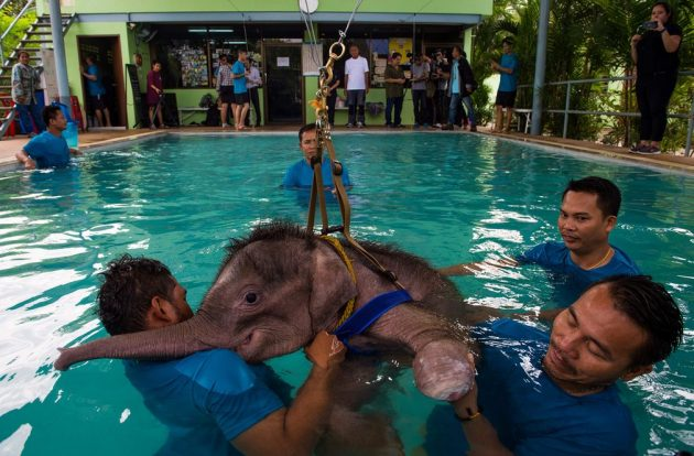 Six month-old Clear Sky, who lost part of her foot in a trap, is rehabilitated with hydrotherapy.