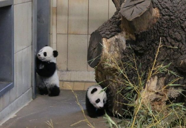 Giant panda twin cubs Fu Feng and Fu Ban, which were born on August 7, are seen in their enclosure at Schoenbrunn Zoo in Vienna, Austria, in this handout photo released December 30, 2016. Schoenbrunn Zoo/Barbara Feldmann/Handout via REUTERS