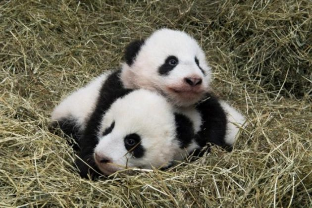 Giant panda twin cubs Fu Feng and Fu Ban, born on August 7, 2016, are seen in this handout provided by Schoenbrunn Zoo on November 23, 2016 in Vienna, Austria.