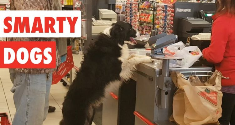 Image of: Laugh Smarty Dogs Funny Dog Video Compilation Daily Candid News Smarty Dogs Funny Dog Video Compilation Daily Candid News